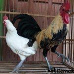 Kebersihan kandang ayam ketawa harus selalu di jaga agar ayam tetap merasa nyaman di dalam kandang