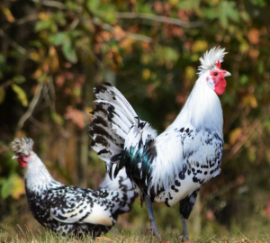 Look at the beautiful appearance of the Appenzeller Spitzhauben chicken, it is a chicken that is good at climbing.