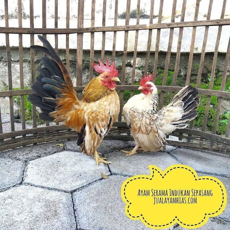 A Couple Of Serama Chicken