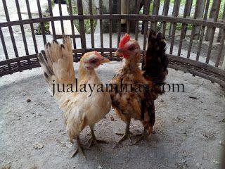 Serama Chicken Age 3 Month