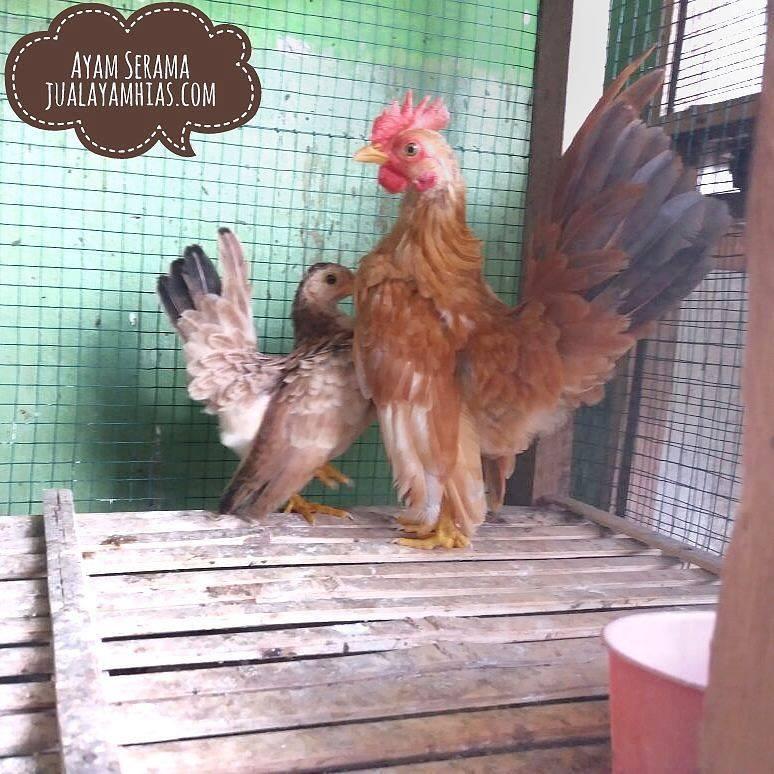 Serama Chicken Age 5 Month