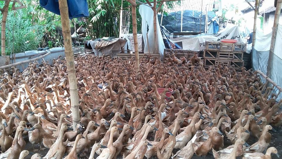 Bebek Lokal Mojosari merupakan bebek mojosari jantan yang diunggulkan oleh produksi dagingnya. | Image 11