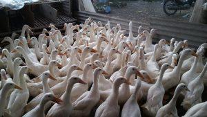 Selain difokuskan untuk menjadi bebek pedaging ternyata bebek peking juga dapat bertelur dengan produktifitas yang cukup tinggi pula. | image 1