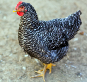 Plymouth rock chicken is one of chicken breeds for eggs because they can lay eggs up to 200 brown eggs per year.