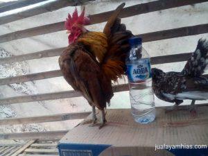 Serama Kontes1 HOBI TERNAK serama chicken breeders word3