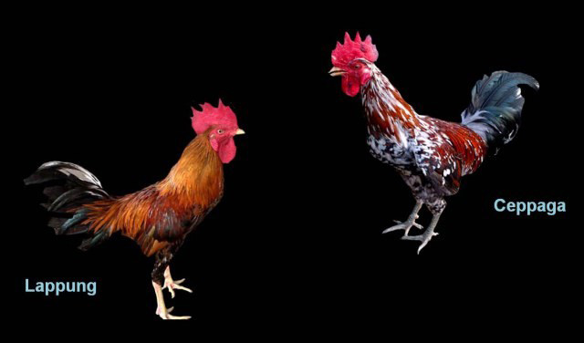Laughing chickens