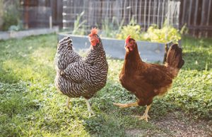 The rules Keeping Chickens In The Back Garden