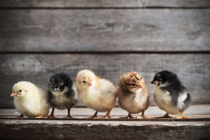 rules for keeping chickens