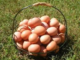 chicken eggs HOBI TERNAK Maintenance Of Chicken word1