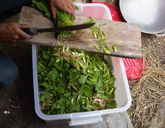 Makanan ayam mutiara bisa menggunakan sayuran hijau yang di potong-potong