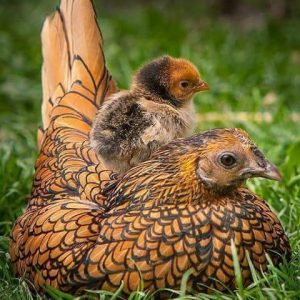 The beautiful appearance of Sebright Chicken make them include in the list of fancy chicken which suitable for your backyard.
