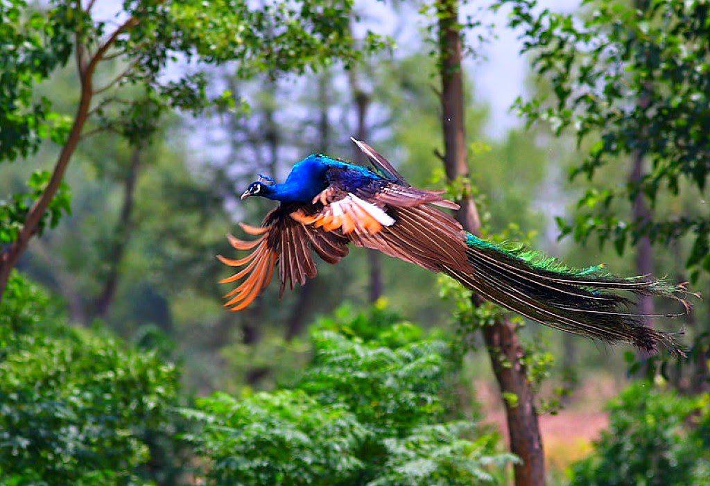 Download 1020+  Gambar Burung Merak Yg Indah  Paling Unik