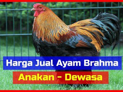 Harga Ayam Brahma Usia Anakan sampai Dewasa