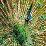 Burung merak hijau sedang mekar | Image 4