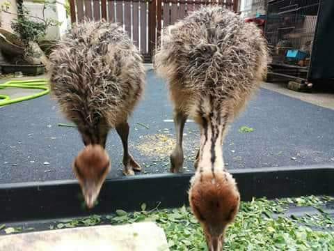 Makanan burung unta bisa diberikan sayuran sawi atau jenis sayuran hijau lainnya | Image 3