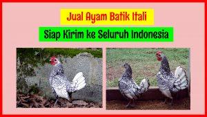 Jual Ayam Batik 2 300x169 1 HOBI TERNAK Jual Ayam Batik Itali word2