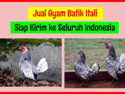 Jual Ayam Batik 2 400x300 1 HOBI TERNAK Jual Ayam Batik Itali word3