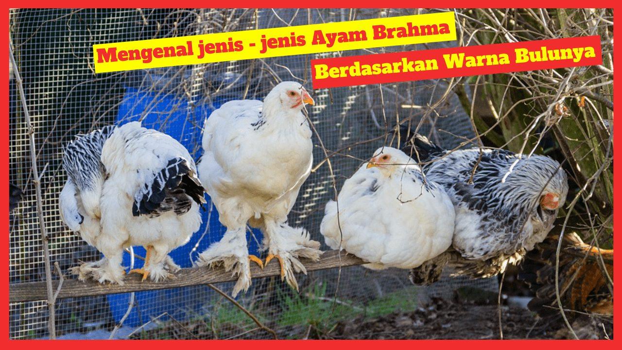 Ayam Brahma berdasarkan warna bulunya