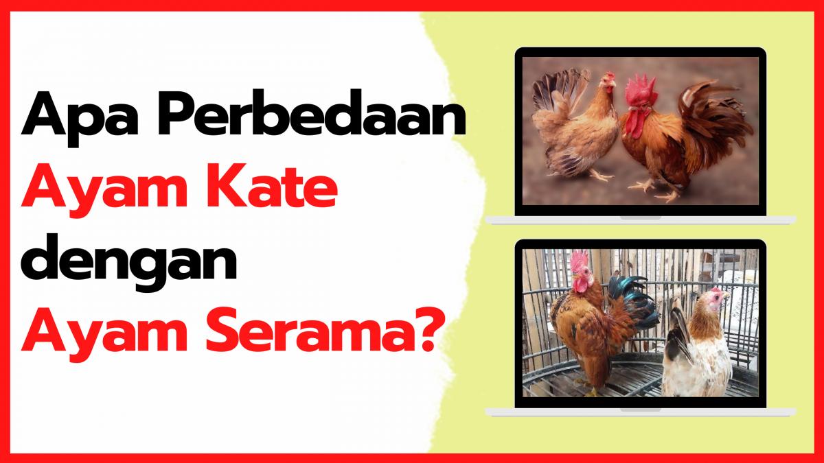 Mau Tau Apa Perbedaan Ayam Kate dan Ayam Serama, Ini dia Jawabannya!!!   Perbedaan kate dan serama