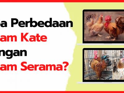 Mau Tau Apa Perbedaan Ayam Kate dan Ayam Serama, Ini dia Jawabannya!!! | Perbedaan kate dan serama