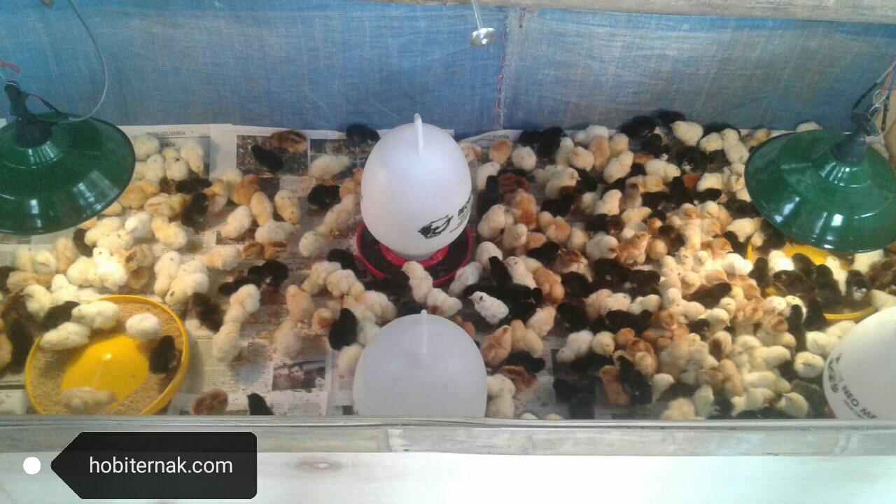 Permasalahan Ayam
