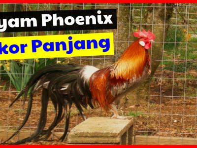 Jual Ayam Phoenix Unik yang Memiliki Ekor Panjang