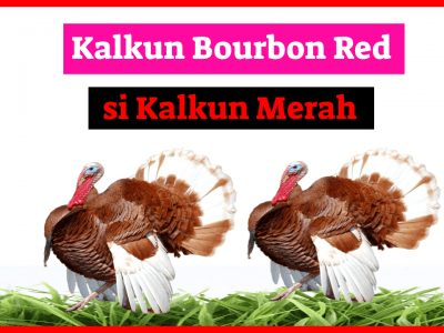 Kalkun Bourbon Red 400x300 1 HOBI TERNAK Bourbon Red word3