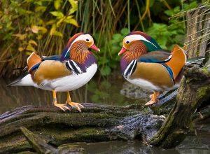 Bebek Mandarin adalah salah satu jenis bebek hias yang memiliki keunikan pada postur tubuhnya dan warna bulu yang mencolok