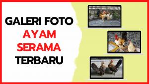 Galeri Foto Ayam Serama Terbaru
