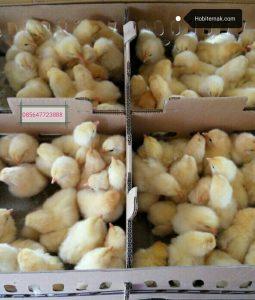 DOC Ayam Pejantan usia baru saja menetas dan siap kirim ke seluruh wilayah Indonesia | Image 2