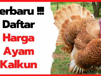 Daftar Harga Ayam Kalkun Terbaru Dari Anakan Hingga Indukan