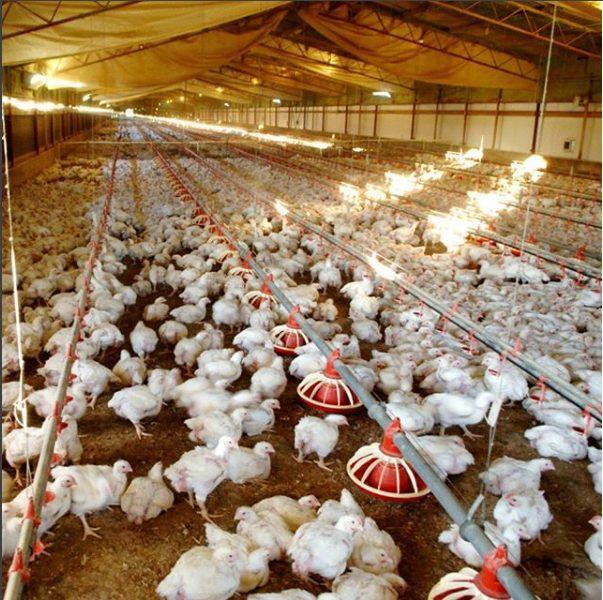 Kandang close house memiliki peralatan yang canggih sehingga ayam dapat lebih berkembang dengan bagus dan resiko kematiannya kecil | Image 5