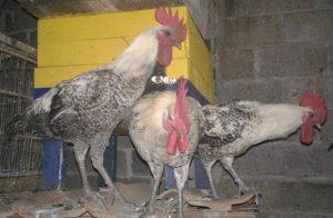 Ayam Arab Jantan HOBI TERNAK word2