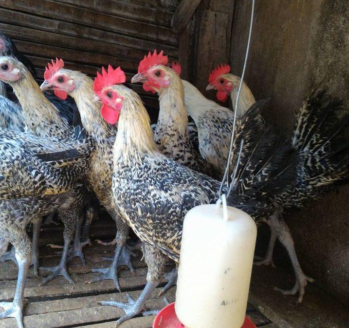 Ayam Arab cdsa HOBI TERNAK word2