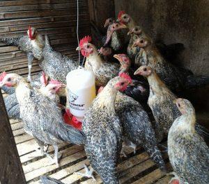 Ayam arab bisa diberikan pakan pabrikan khusus untuk ayam petelur | Image 4