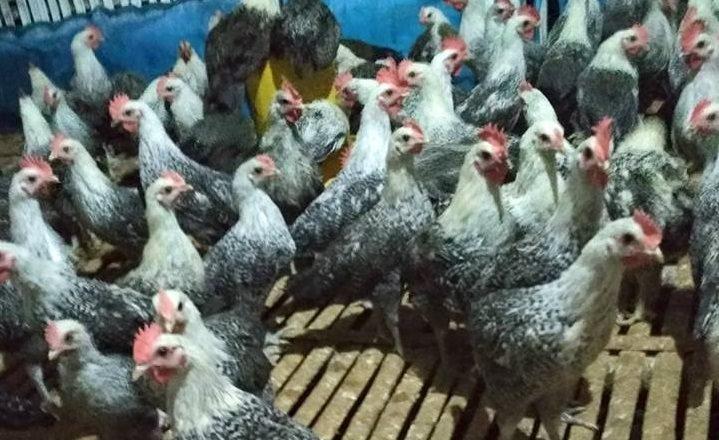 Ayam Arab Siap Telur