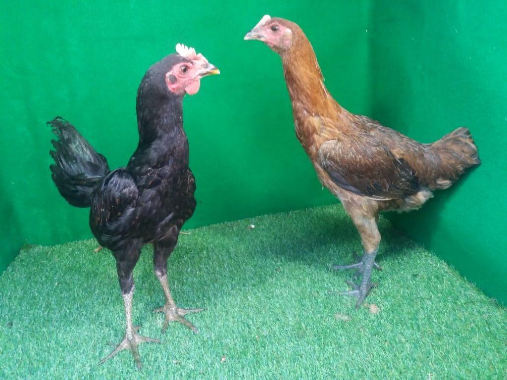 Salah satu contoh foto ayam pelung usia 4 bulan | Ayam Pelung