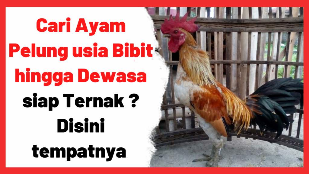 Ayam Pelung banyak dicari karena memiliki keunikan yang terdapat pada suaranya yang khas. | Cover Ayam Pelung