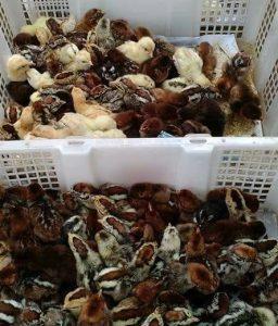 DOC Ayam Arab termasuk dalam kategori ayam petelur