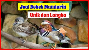 Jual Bebek Mandarin HOBI TERNAK jual bebek mandarin word2