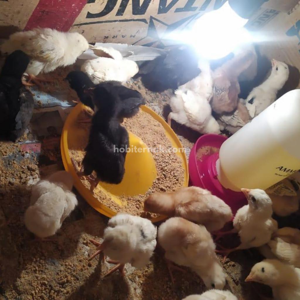 Kandang ayam yang terlalu sempit dapat mengakibatkan ayam tidak dapat tumbuh kembang dengan bagus   Image 2