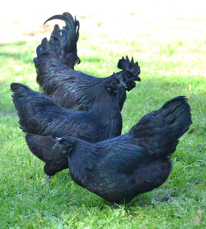 Banyak muncul kepercayaan atau mitos-mitos tentang ayam cemani dan hal tersebut belum tau kebenarannya | Mitos ayam cemani