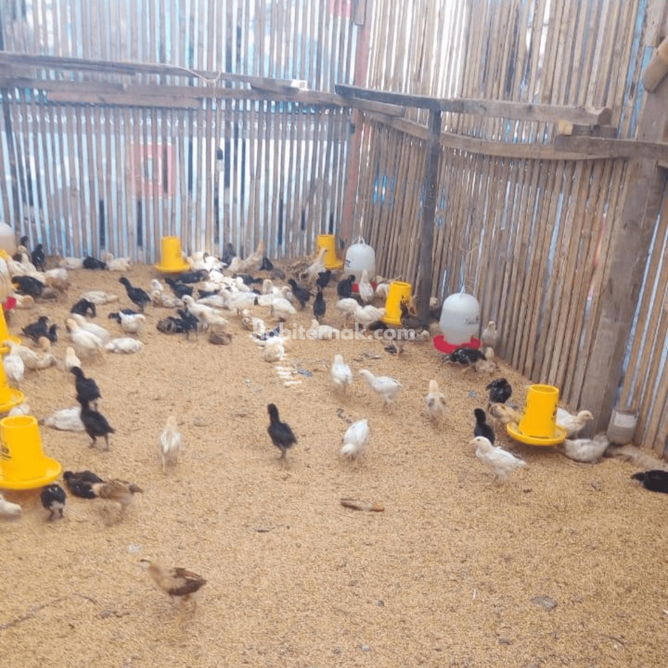 Agar ayam JOPER dapat tumbuh dengan baik maka peternak perlu memperhatikan menejemen pembuatan kandang dengan maksimal | gambar 2