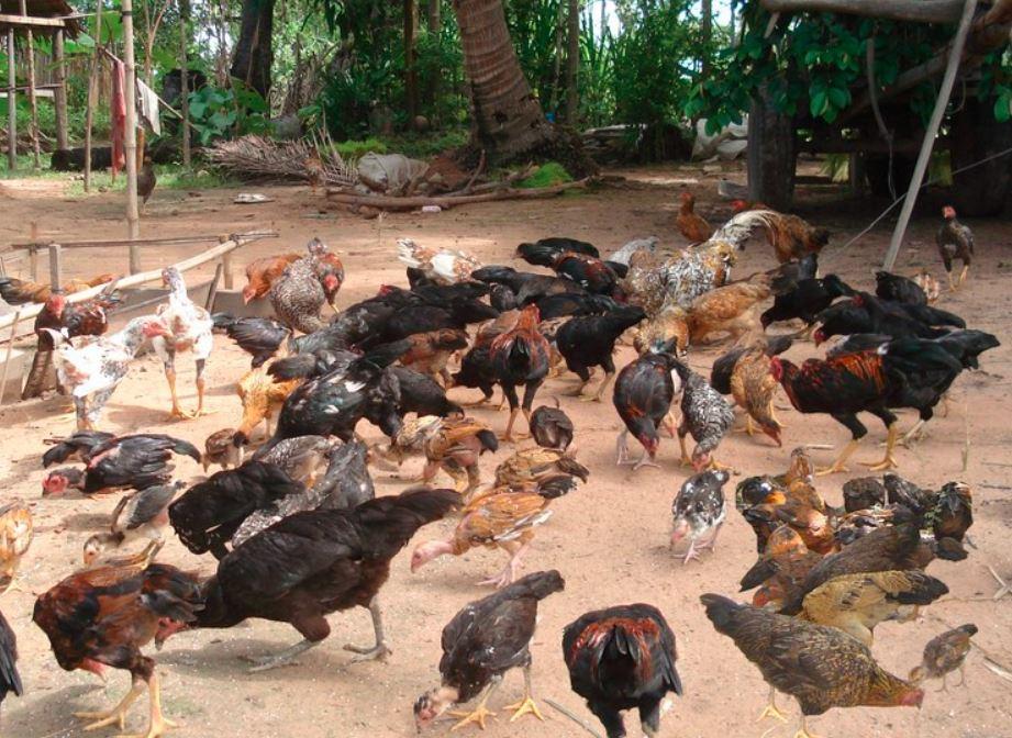 Ayam yang sedang diumbar biasanya akan mengais tanah untuk mencari makanan tambahan | image 1
