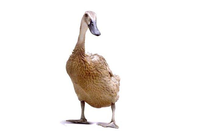 Bebek hibirda super jumbo dengan masa panen 40 hari bobot 1,8 kg per ekor.