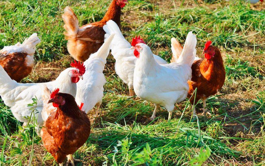 Beternak dengan sistem tradisional tidak memerlukan biaya yang mahal hanya saja biasanya ayam kurang terpenuhi dalam hal pakan