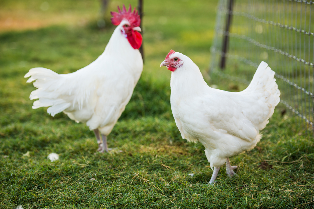 Bresse chicken can be a Sultan Chicken because its meat is so expensive but have a high quality so it's worth it.