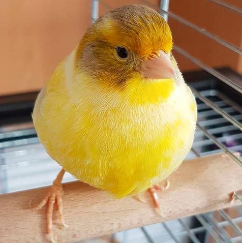 Burung Kenari warna kuning ini terlihat sangat cantik dengan perbaduan cokla dan putih cerah