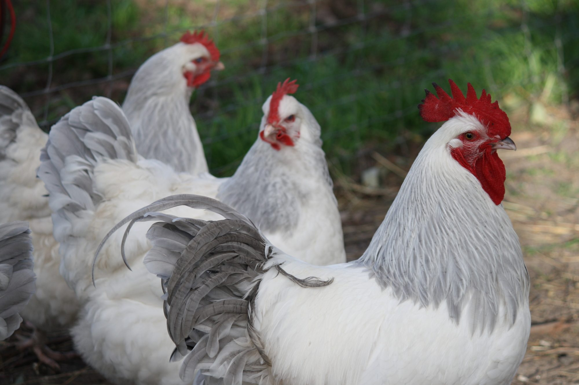 Sussex chicken is a dual-purpose chicken breed, they can be raised as chicken breeds for eggs and meat.