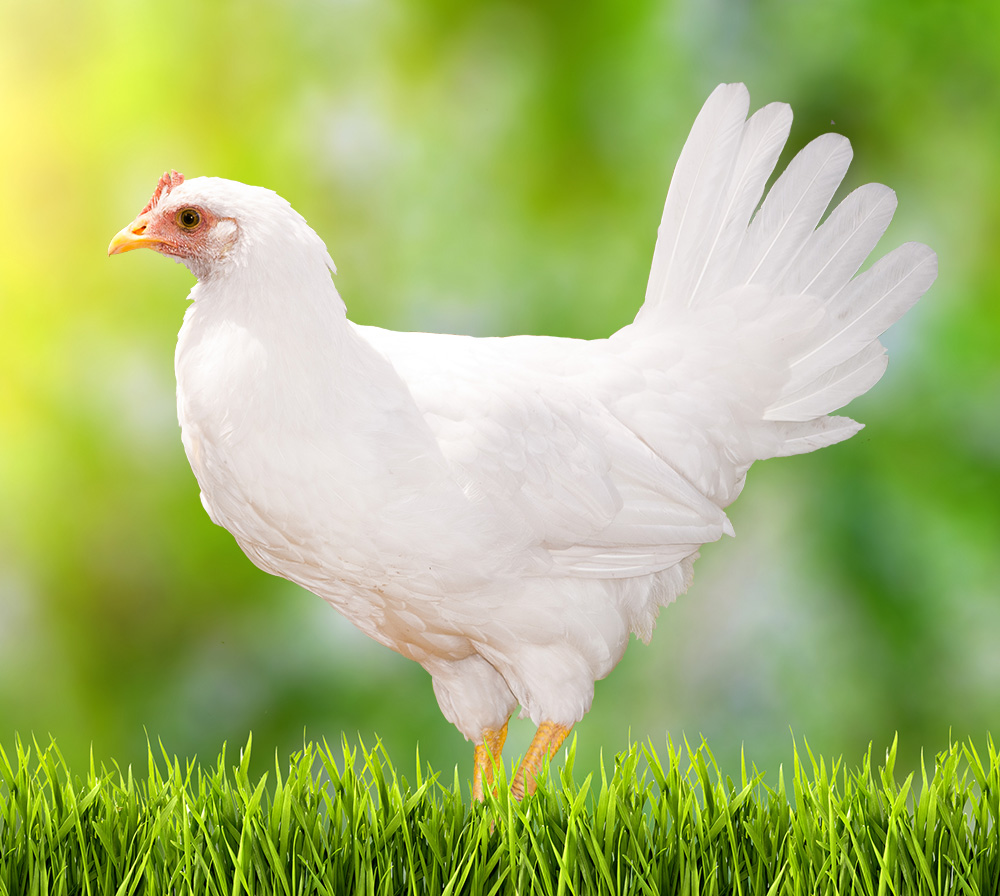 Leghorn Chicken can give you a fresh eggs everyday because Leghorn are realiable laying chicken.